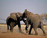 Elephants can be aggressive, formidable fighters.