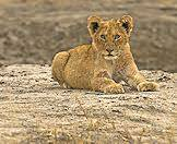 Lion cubs provide some of the most memorable sightings.