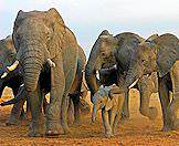 A herd of elephants traverse the floodplains of Chobe.