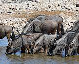 Blue wildebeests wander into the water for a drink.