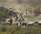 Buffaloes are amongst the major herbivores that roam Timbavati.