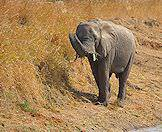 An elephant snacks on bushes on the edge of a waterhole.