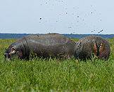 Hippos love the thick grasses that chase the edges of the Chobe River.