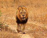 A male lion spotted on safari in Timbavati.
