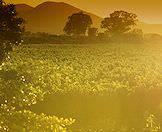 A golden afternoon in the Cape winelands.