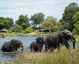 Elephants often enter the delta's waterways to swim and drink.