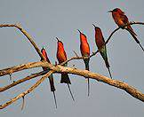 Carmine bee eaters are frequently spotted in the Okavango Delta.