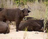 A young Cape buffalo stands amidst its herd.