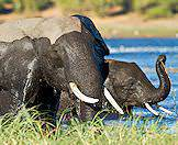 A pair of elephants swim and snack in the Chobe River.