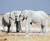 A pair of elephants coated in the white dust of the Etosha Pan.