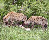Hyenas are both highly successful scavengers and hunters.