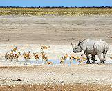 Etosha is a stronghold for the endangered black rhino.