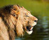 The lion is Chobe's most prolific predator.