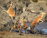 Impalas narrowly escape the jaws of a hunting crocodile.