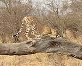 Cheetahs enjoy elevated posts to survey the surrounding landscape.