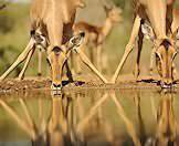 Impalas are the most common antelope in the Kruger National Park.