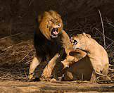 Mating amongst lions is often an aggressive affair.