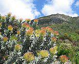 Fynbos bursts across the slopes of Table Mountain.