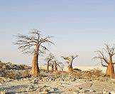 Baobabs jut from the rocky surface of Kubu Island in the Makgadikgadi Pans.