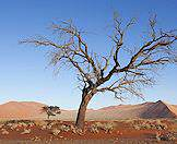 A dead tree contrasted against the vivid bloom of the Sossusvlei dunes.