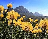 Flowers bloom amidst the Cape's indigenous fynbos.