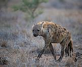 A spotted hyena in the wild.
