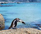 A penguin perched on a granite boulder at Boulders Beach in False Bay.
