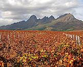 Autumn colors dominate the vineyards of an estate in the Cape winelands.