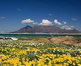 Wildflowers in the foreground with Table Mountain in the background.