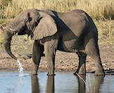 An elephant takes a generous drink.