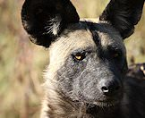 An intimate portrait of an African wild dog.