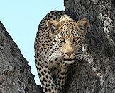 A leopard makes eye contact with the camera.
