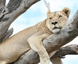 A lioness lounge in a dead tree.