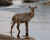 A waterbuck cow pauses in the shallows.