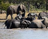 A herd of elephants taking a dip in dam.
