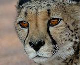 An intimate close-up shot of a cheetah.