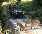 Guests on safari observe a trio of lions on a low level bridge.