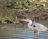 A grey heron wades in the shallows of a river.
