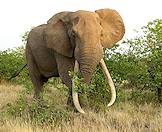 An enormous elephant bull encountered on safari in Sabi Sand.