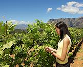 A visitor picks grapes straight off the vines in the Boland.