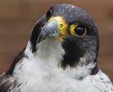 A close up photograph of a peregrine falcon.