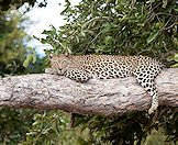 A leopard relaxes on the branch of a large tree.