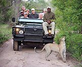 A leopard pauses below the feet of a tracker on a safari vehicle.