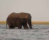 An elephant wanders into the Chobe River.