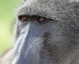 A close-up photograph of a baboon.