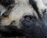 A close-up photograph of an African wild dog.