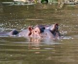 A hippo breaches the surface a waterhole.