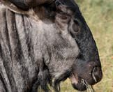 A blue wildebeest grazing.