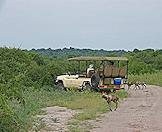 African wild dogs surround a safari vehicle.