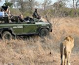 A Lion Sands safari vehicle pauses alongside a lion.